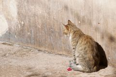 Cat by a wall, with a rose royalty free stock photography