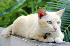 Cat on the Wall. Yellow cat lying on a wall, with trees in the background Royalty Free Stock Images