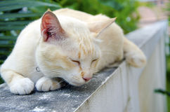Cat on the Wall. Yellow cat lying on a wall, with trees in the background Stock Photo