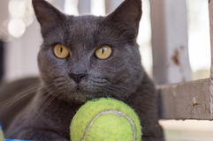 Cat wanting to play ball Russian Blue breed Royalty Free Stock Image