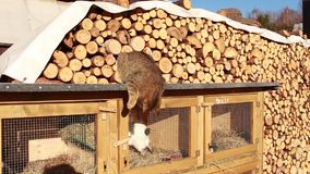 Cat wants open rabbit - hutch. In beautiful landscape stock video footage