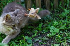 Cat warms chicken. Cat, takes a chicken for her cub. Stock Images