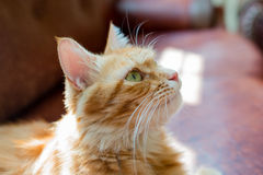 The cat was absorbed at something. Stock Images