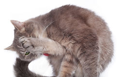 The cat was bent and licks a hinder leg. A gray cat on a white background in a fancy strange ridiculous pose royalty free stock photos