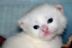Newborn, white pet. The cat was born kitten. He is very small, feeble, the mother cat feeds him, caresses. He will mature and become a beautiful, white cat stock photos