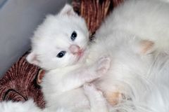 Newborn, white pet. The cat was born kitten. He is very small, feeble, the mother cat feeds him, caresses. He will mature and become a beautiful, white cat royalty free stock image