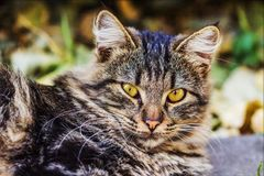 The cat was domesticated about 9.5 centuries ago in the middle East. royalty free stock photos