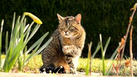 Cat washes on the garden Royalty Free Stock Image
