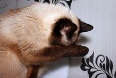 Cat washes paw. As if closed from light Royalty Free Stock Images