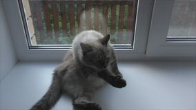 Cat washes on the windowsill stock video