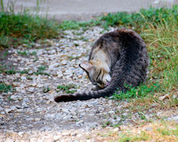 Cat washing. Farm cat washing himself on pebble stone and grass alley royalty free stock photography