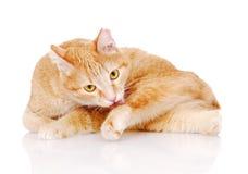 Cat washing itself. isolated on white background Royalty Free Stock Photos