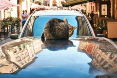 Cat washing itself sitting on an automobile roof in the old historical European city center royalty free stock photos