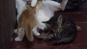 Cat washing kittens stock video footage