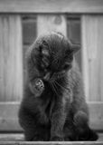 Cat Washing nera sul banco Immagine Stock