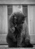 Cat Washing preta no banco Imagem de Stock
