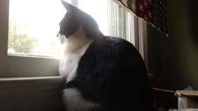 Cat Watch. Window Watcher Kitty Stock Photography