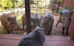 Cat watches wild animals( javalinas). Russian blue grey cat watches wild animals( javalinas) on back porch in Sedona Arizona Royalty Free Stock Photography