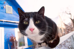 Cat watching. Cat sits and stares into the camera Royalty Free Stock Photography