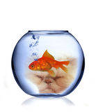Cat watching fish. Collage with cat in background watching fish in aquarium Royalty Free Stock Photos