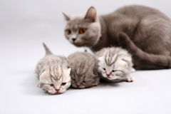Cat watching her babies Stock Photography