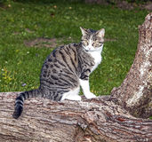 Cat watching and hunting Stock Photography