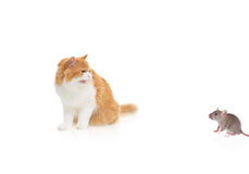 Cat watching a mouse Stock Photo