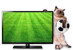 Cat watching smart tv translation of football game. Stock Images