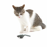 Cat watching a toy mouse in anticipation Royalty Free Stock Images