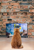 Cat watching TV. Ginger cat watching TV on the background of a brick wall Stock Photos