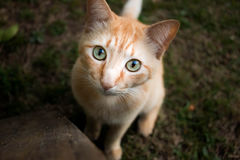 Cat watching you. Small red cat watching at you Royalty Free Stock Image
