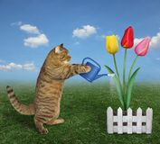 Cat watering colored tulips royalty free stock image