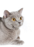 Cat wathing on something. British cat watching on something. Isolated on white Stock Image