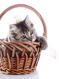 Cat in a wattled basket plays with a tape. Royalty Free Stock Photo