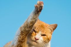A cat looking at camera at raising its leg up in the air like waving. royalty free stock image