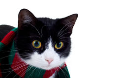 Cat wearing a christmas scarf Royalty Free Stock Photography