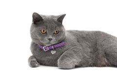 Cat wearing a collar with a pendant on a white background close- Royalty Free Stock Images