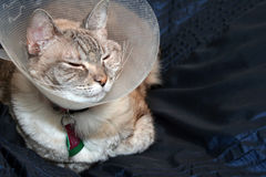 Cat Wearing Cone Collar stock photography