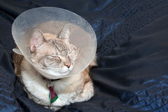 Cat Wearing Cone Collar Stock Image