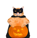 Cat wearing costume for halloween with a pumpkin. Stock Images