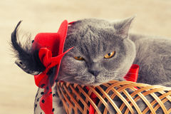 Cat wearing female hat Royalty Free Stock Photo