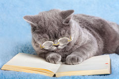 Cat wearing glasses reading notebook. A blue british business cat wearing glasses reading notebook Stock Photo