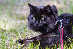 Cat wearing a harness Stock Photography