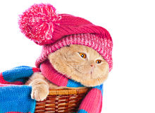 Cat wearing a hat and a scarf Royalty Free Stock Photography