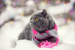 Cat wearing knitting scarf in snowy winter. Fashion portrait of cat wearing knitting scarf in snowy winter Stock Photography