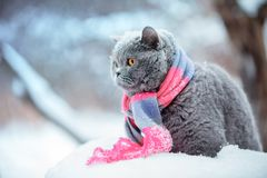 Cat wearing knitting scarf in snowy winter. Fashion portrait of cat wearing knitting scarf in snowy winter Royalty Free Stock Photos