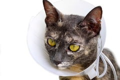 Cat wearing neck collar isolated on a white background. Cat wearing neck collar to protect and not to lick after surgery isolated on a white background stock image