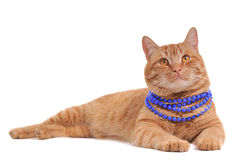 Cat wearing Necklace Stock Image