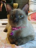 Cat wearing pink collar Stock Images