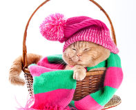 Cat wearing a pink knitting hat with pompom and a scarf. Sleeping in a basket Royalty Free Stock Photography